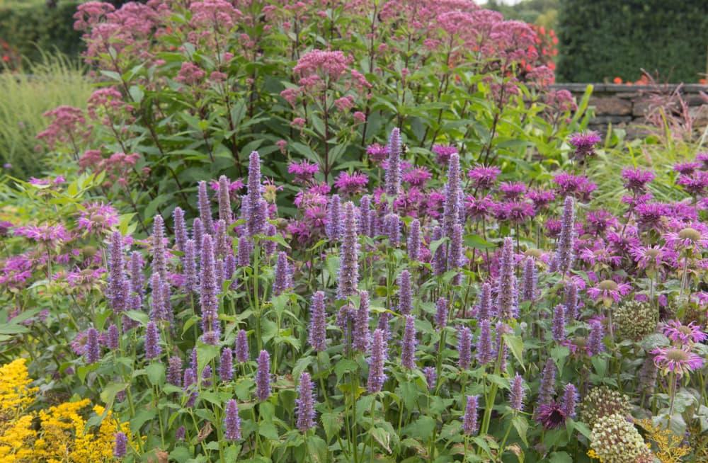 upright purple flowers of Anise hyssop