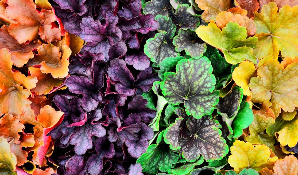 coral bells foliage in orange, purple, green and yellow