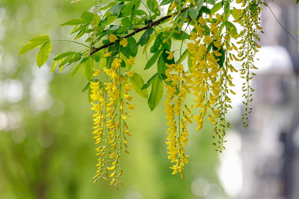 yellow Laburnum anagyroides