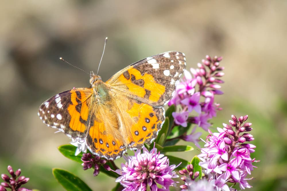 Australian Painted Lady Butterfly sat on hebe plant
