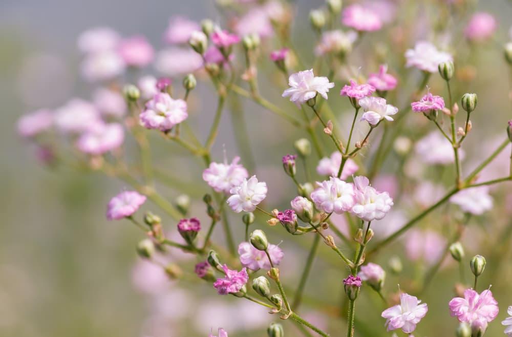 Pink Flowers of Gypsophila paniculata 'Flamingo'