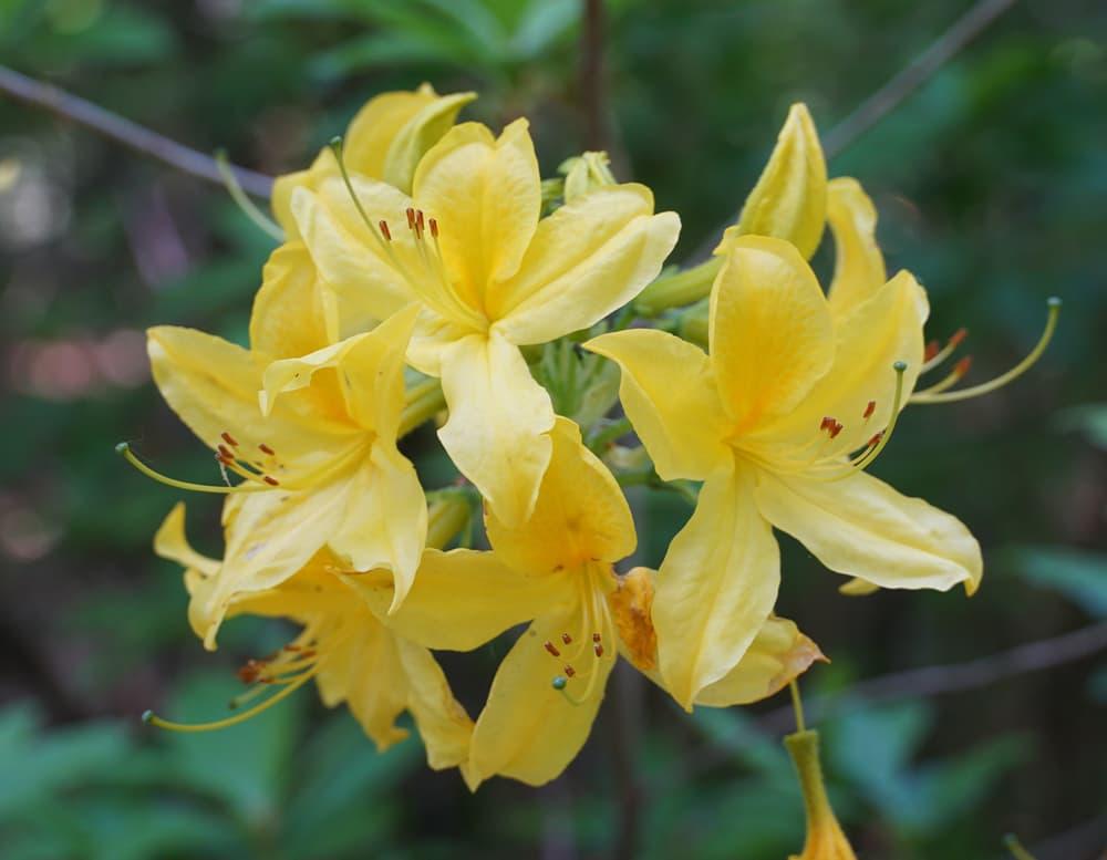 yellow honeysuckle azalea up close