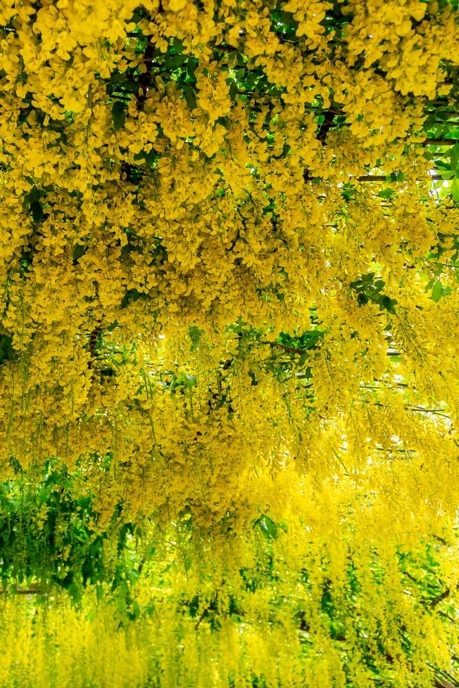 blooming Golden Rain in a Welsh garden