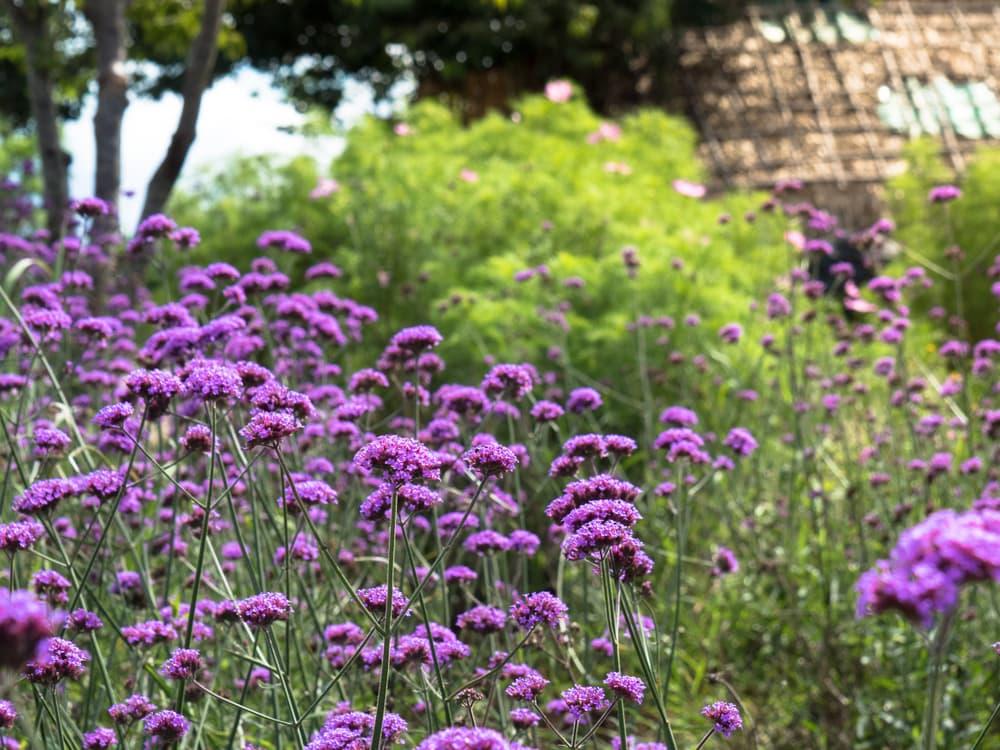 purple Verbena bonariensis growing outside