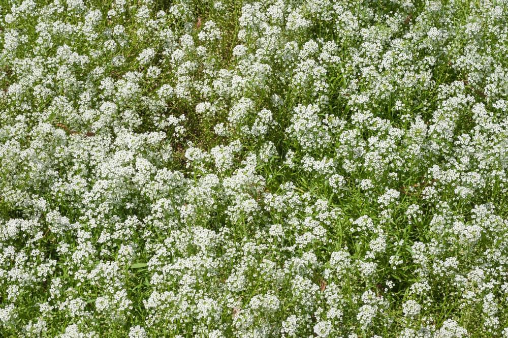 Gypsophila paniculata growing wild in a field