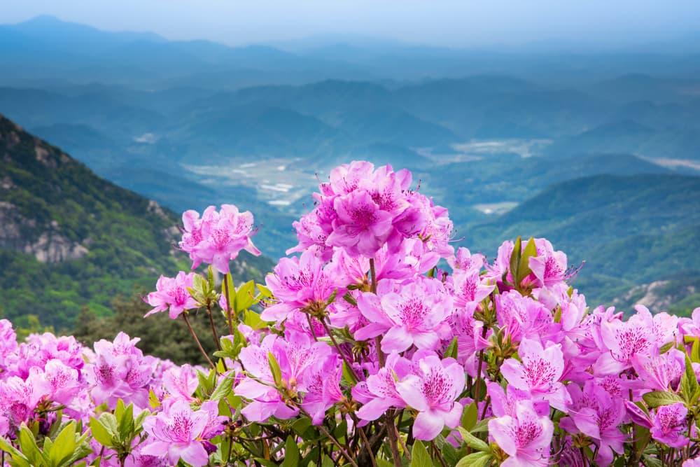 pink royal azalea on a mountaintop in Hwangmaesan, South Korea