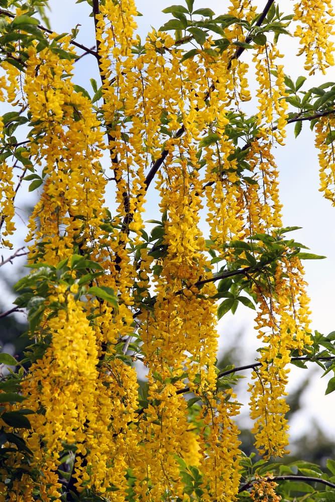 laburnum flowering in spring