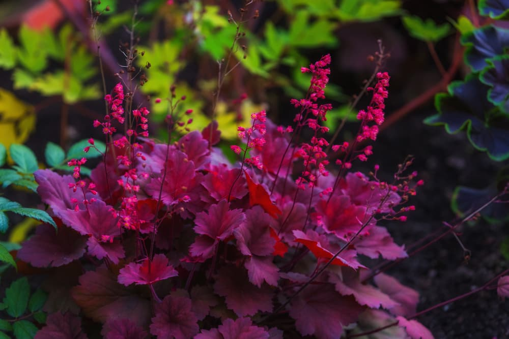 purple leaves and red florets of a heuchera plant with other garden plants in background