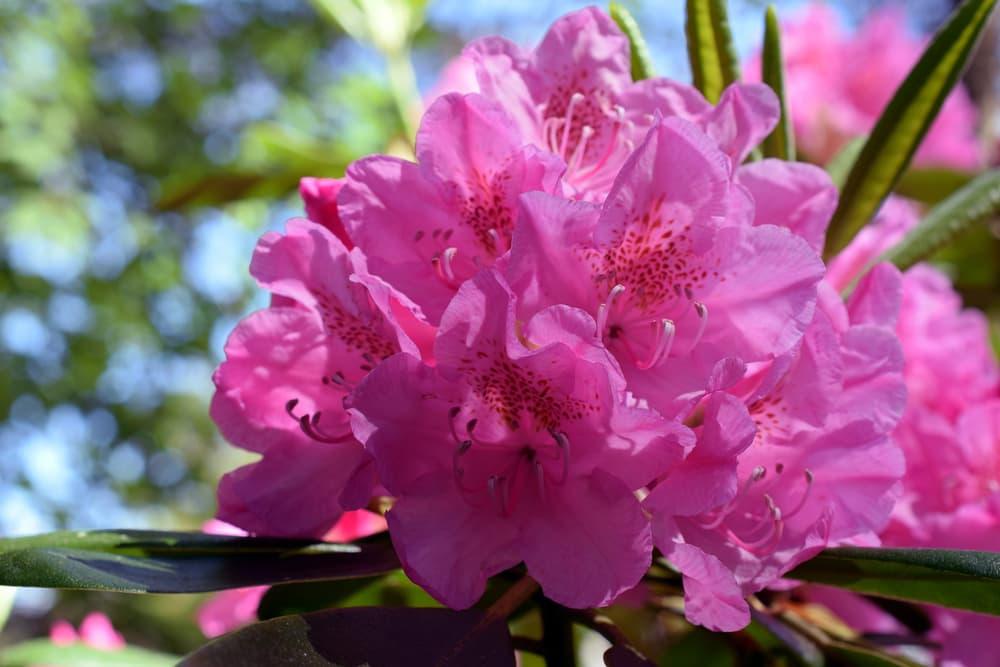 pink Rhododendron viscosum in focus