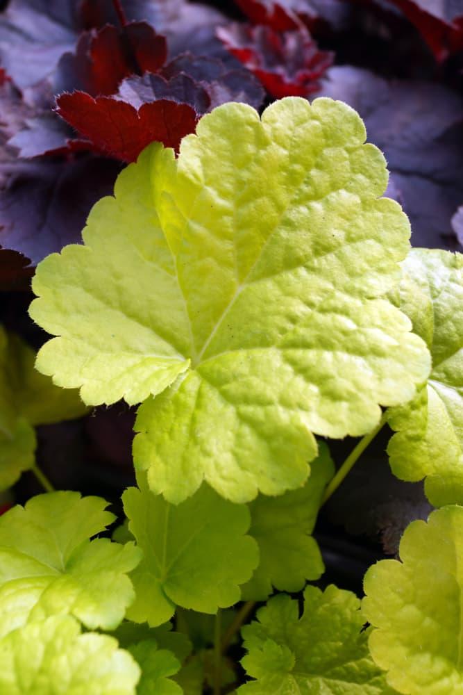 lime green coloured leaves of heuchera sweet tart