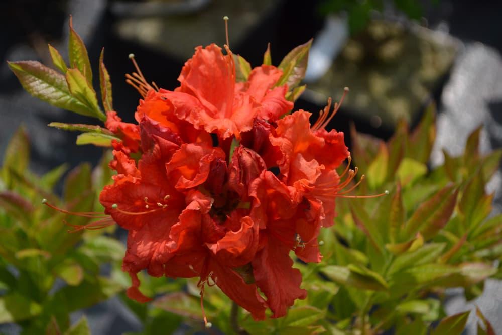orange Rhododendron x hybrida flowers