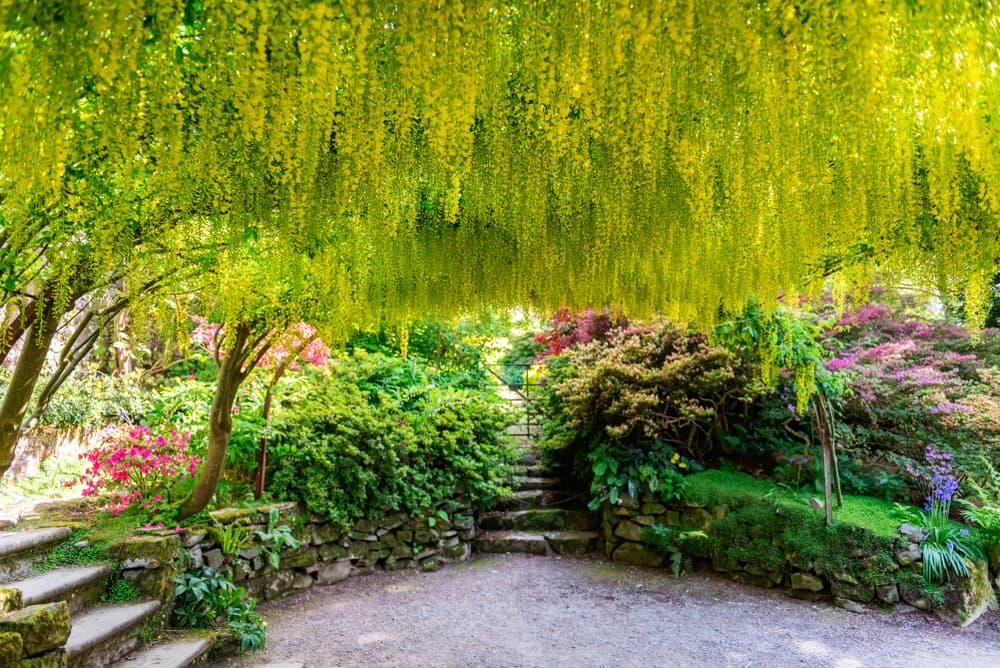 an arch of golden rain tree in a modern garden
