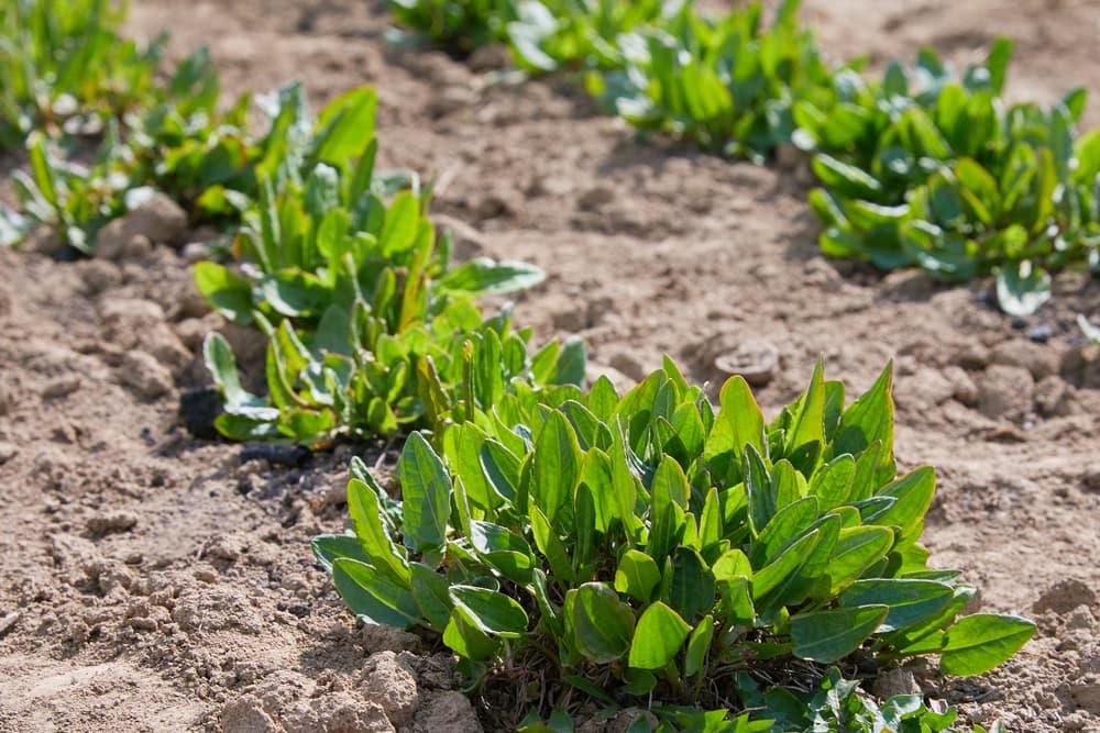 sorrel in a garden patch