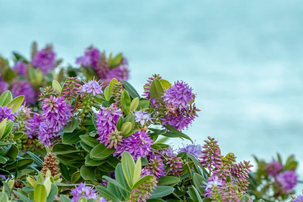 a hebe bush with the sea in the background