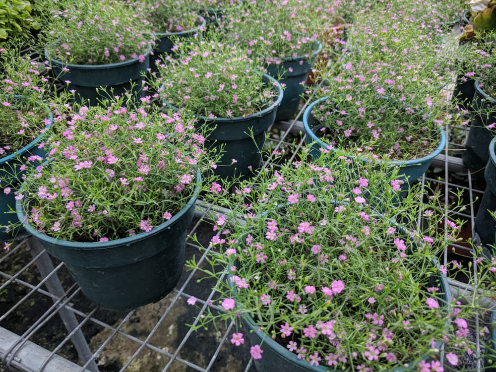 rows of plant pots filled with gypsophila plants