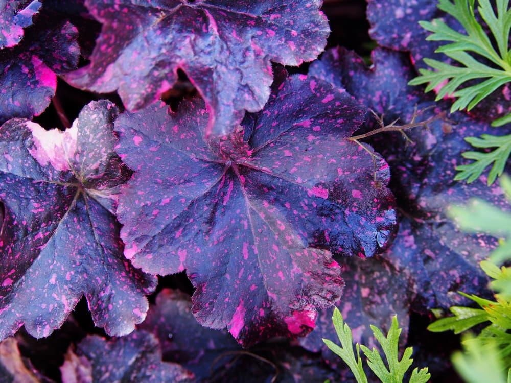 H. 'Midnight Rose' leaves