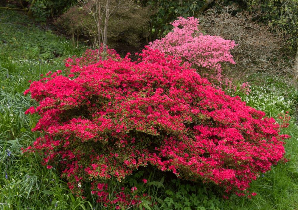 Rhododendron x hybrida in a devon garden