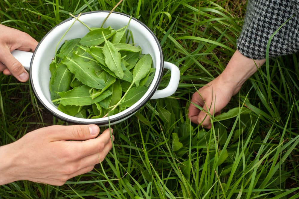 harvesting sorrel leaves from a field