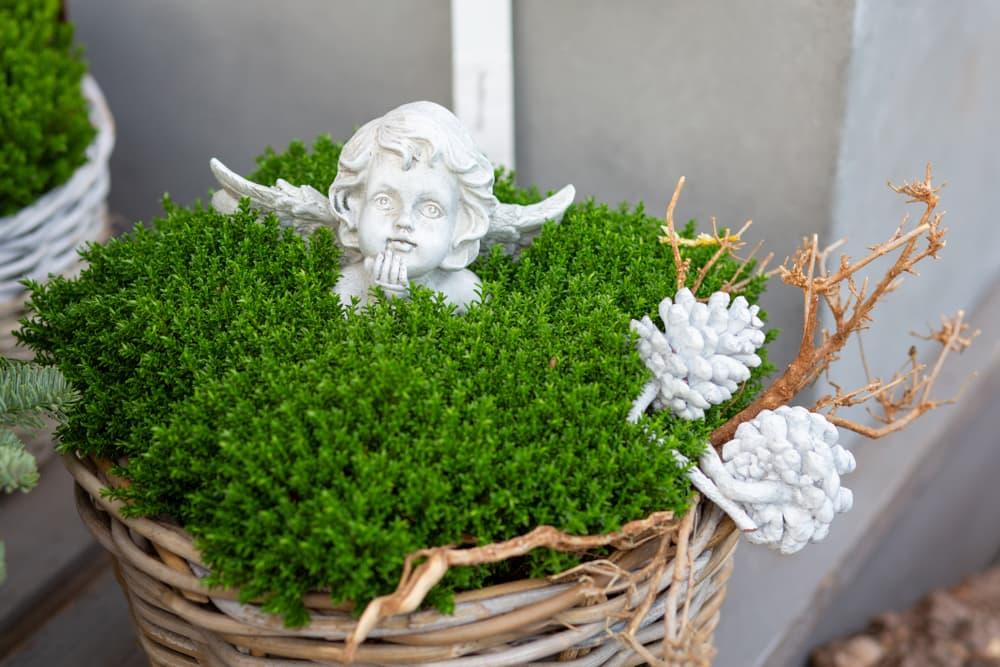 H. 'Emerald Gem' in a wicker basket