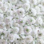 multiple white Gypsophila flowers