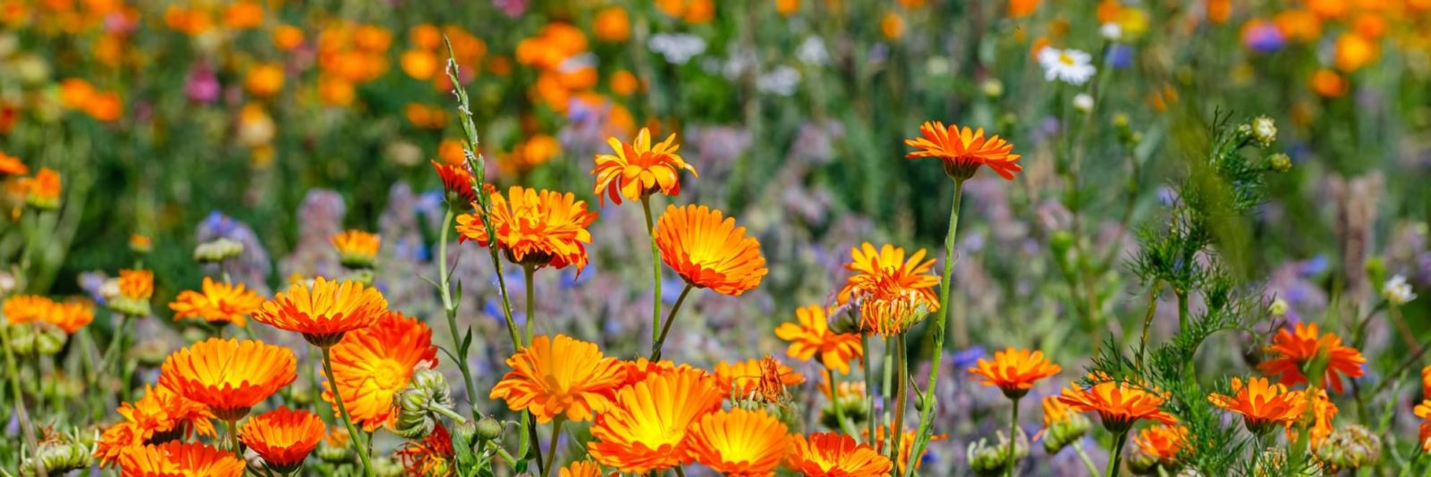 beautiful bright orange calendula flowers growing in a garden space