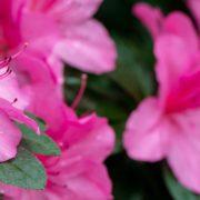 tropical pink azalea up close