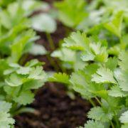 coriander herbs growing in soil