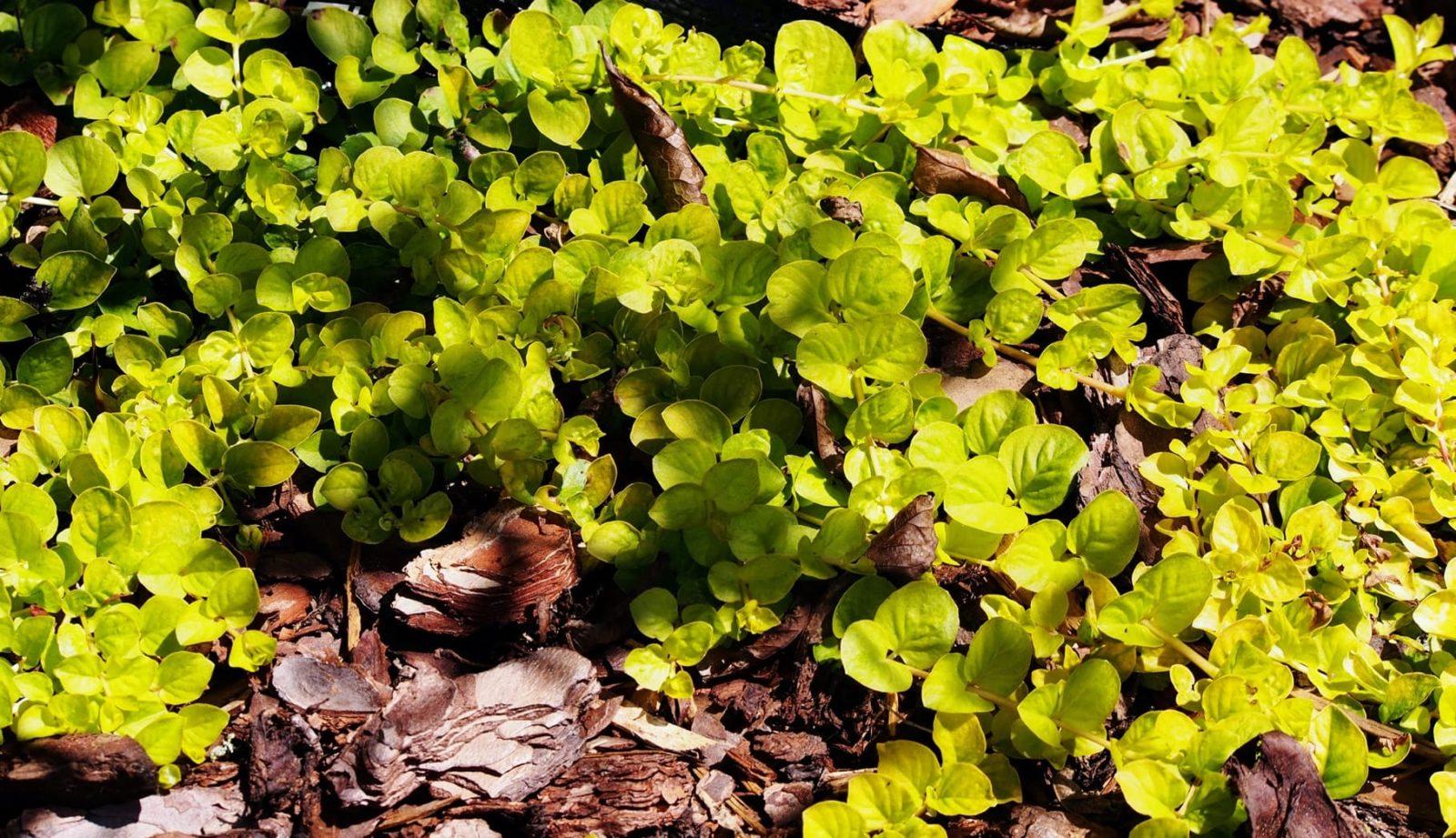 Lysimachia nummularia 'Aurea' plant with bark in a garden