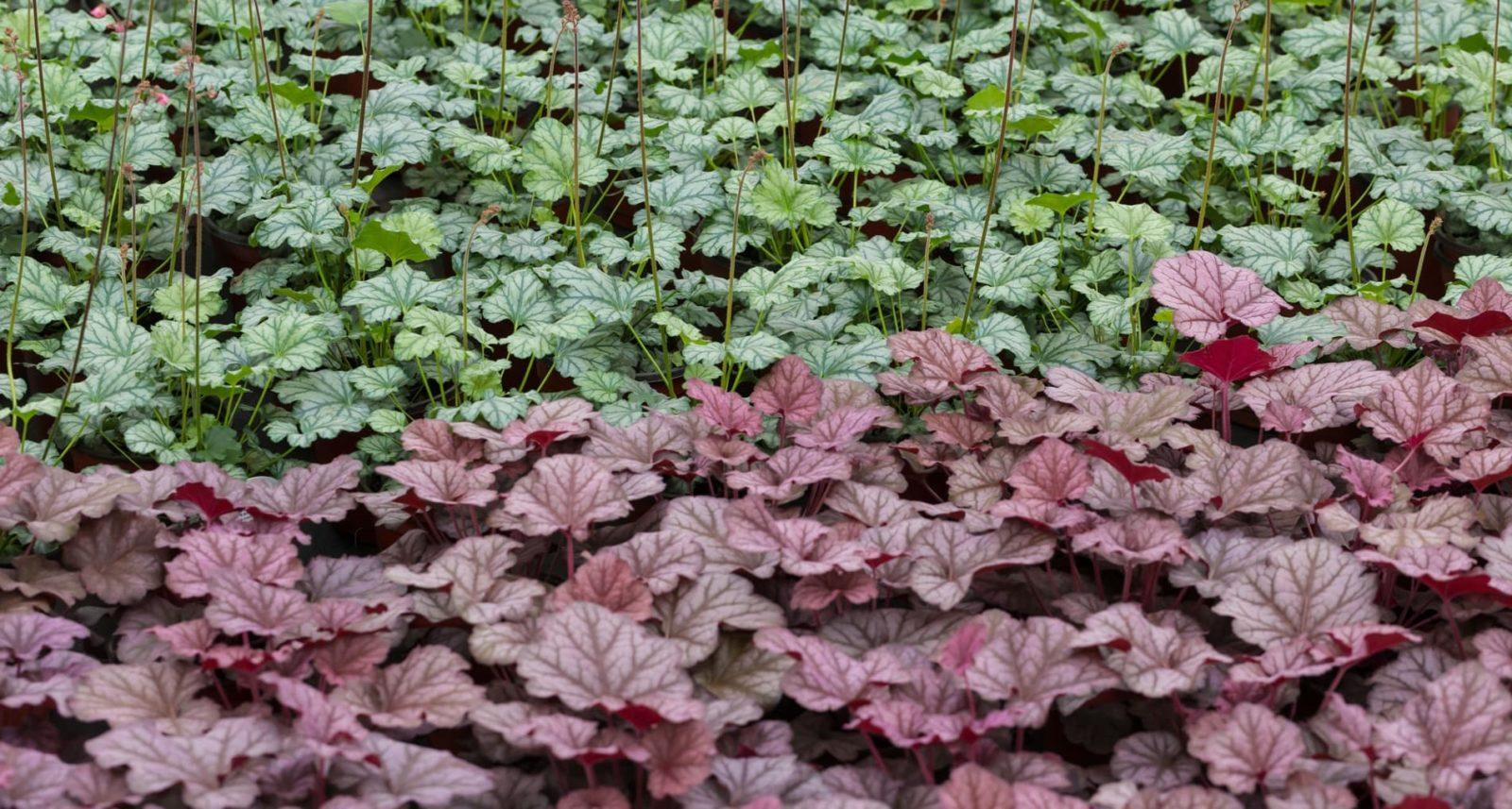 heuchera plants in purple and green