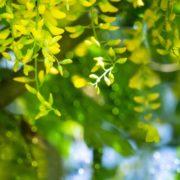 yellow flora of the laburnum tree up close