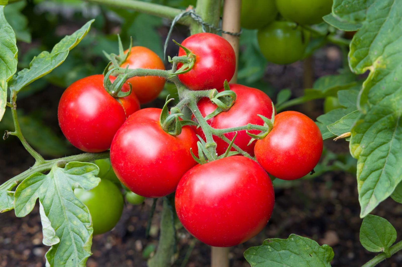 bright red tomatoes on the vine