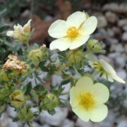 yellow potentilla flowers up close with gravel in background