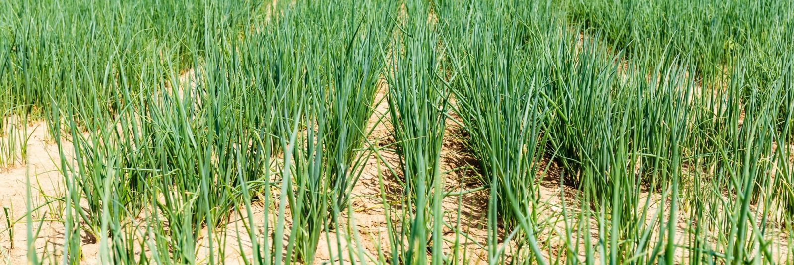 numerous shallot plants in a large field