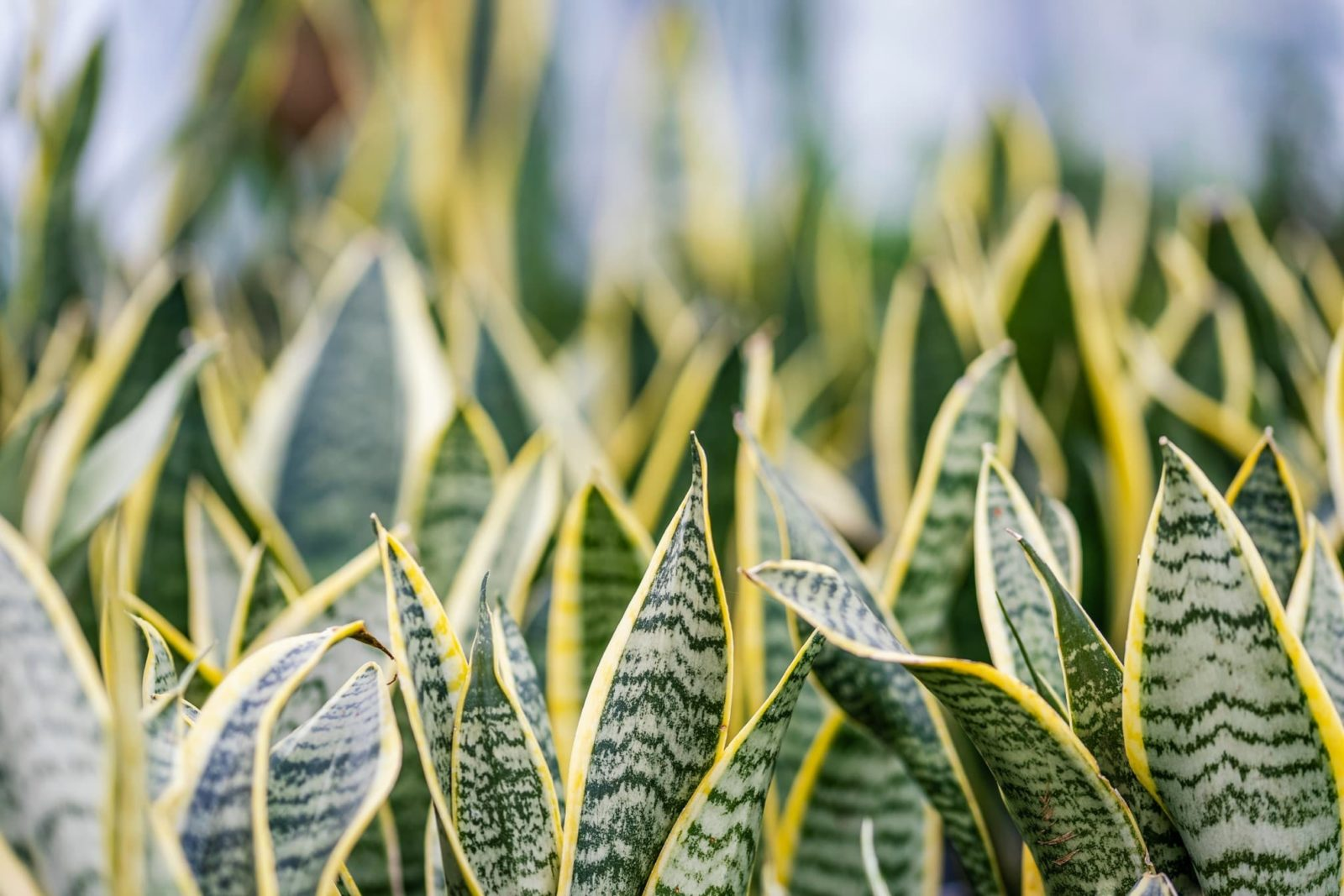 Dracaena trifasciata plants