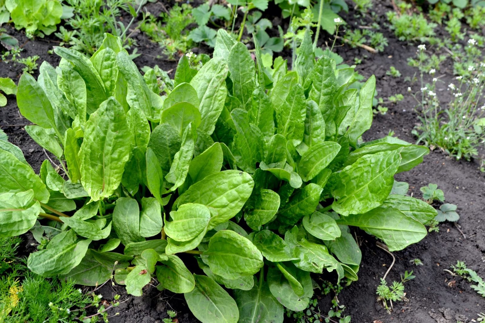 sorrel growing in a vegetable patch