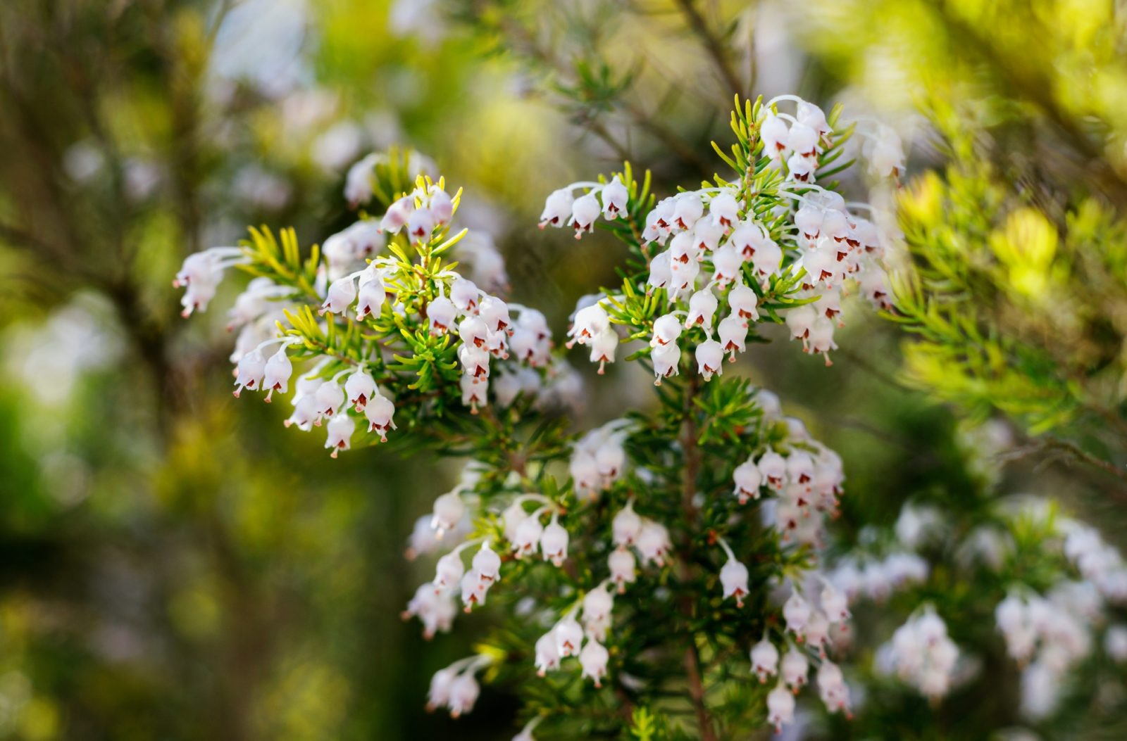 erica arborea plant up close