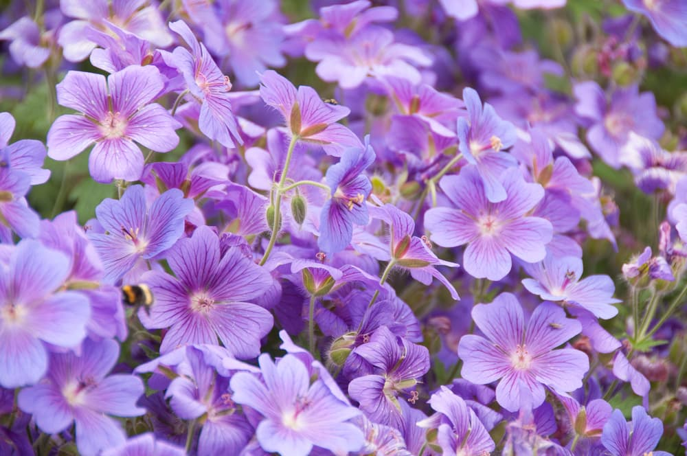 purple geraniums blooming in a garden with a bee flying past