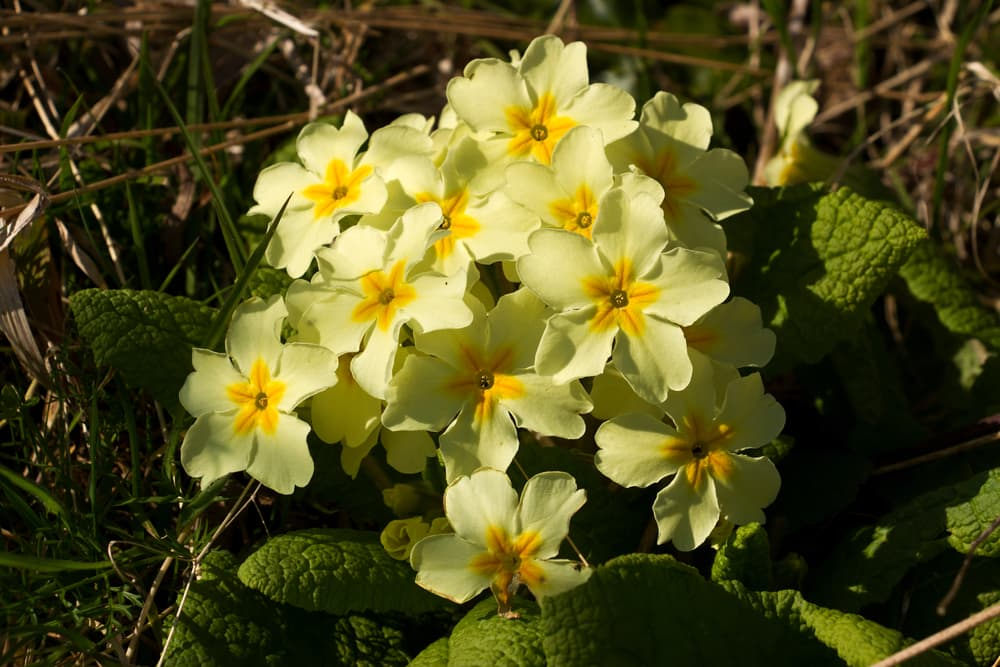 bright yellow primrose flowers blooming in woodlands
