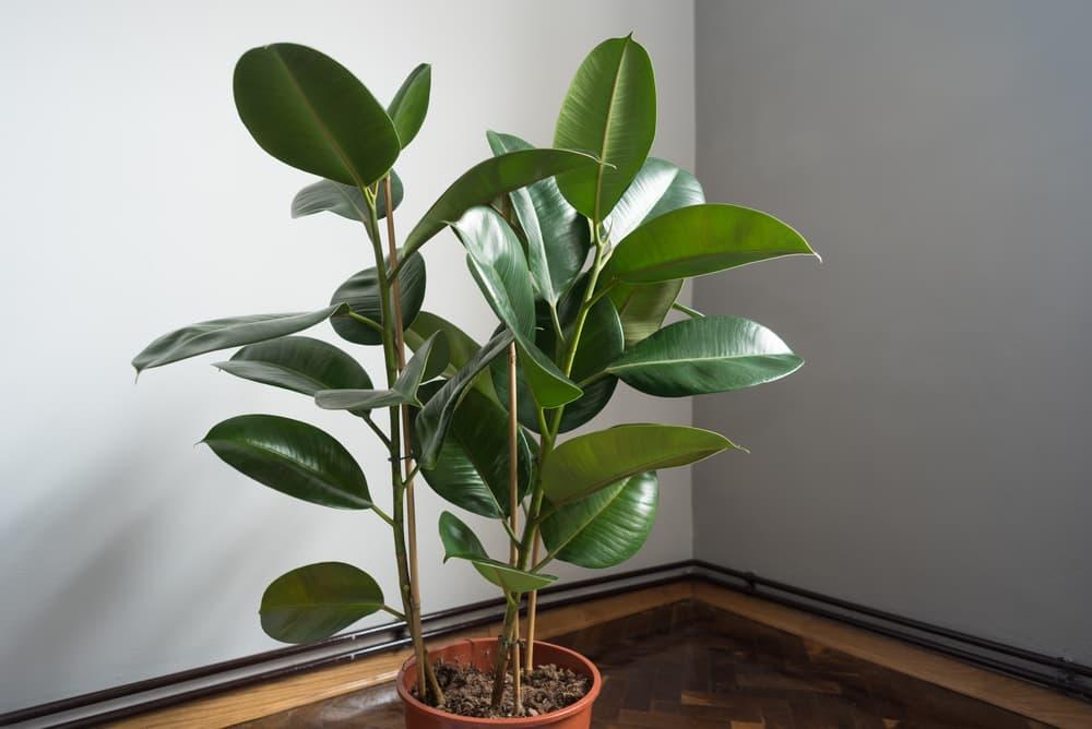 ficus elastica in a terracotta plant pot