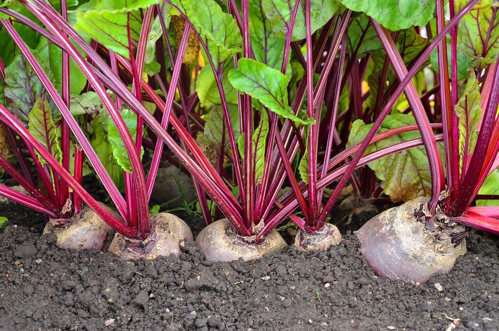 five beetroot plants growing in a vegetable plot