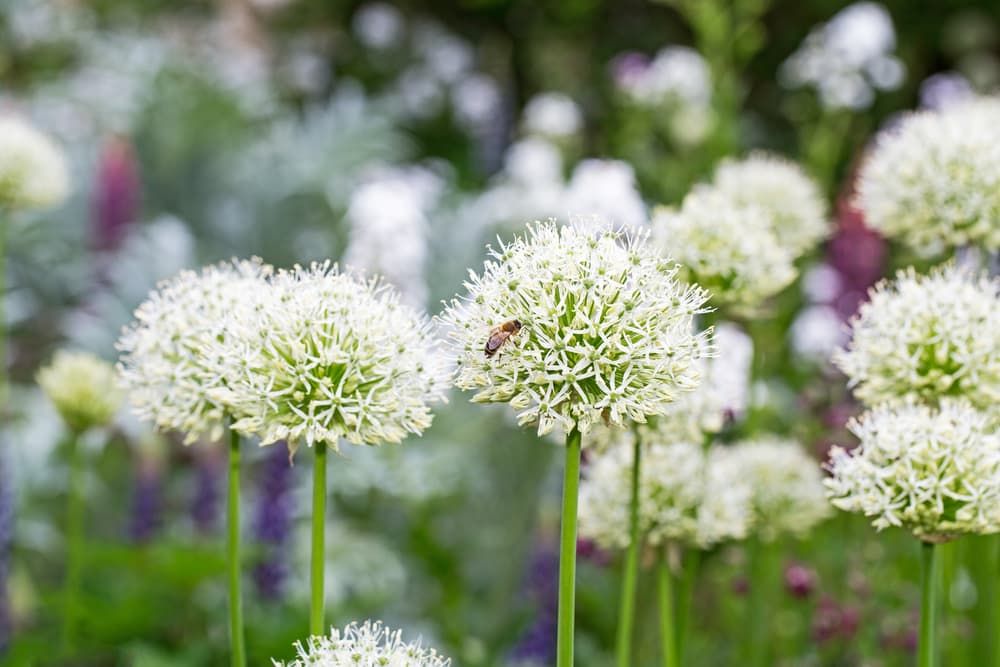 Allium stipitatum `Mount Everest' flowers in focus with a buzzing bee