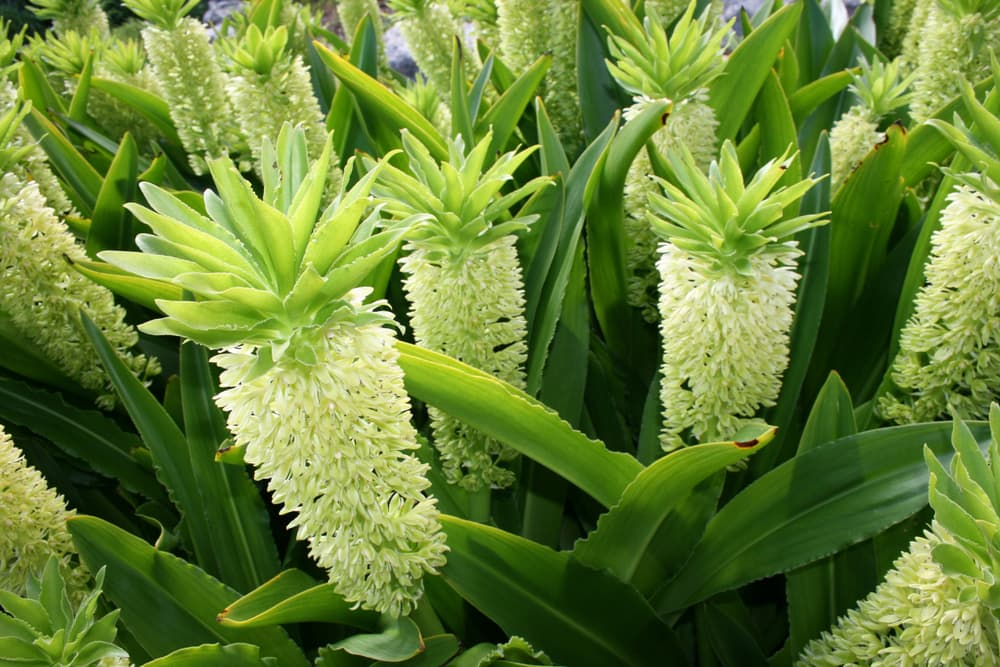 several pineapple lilies in a botanical garden