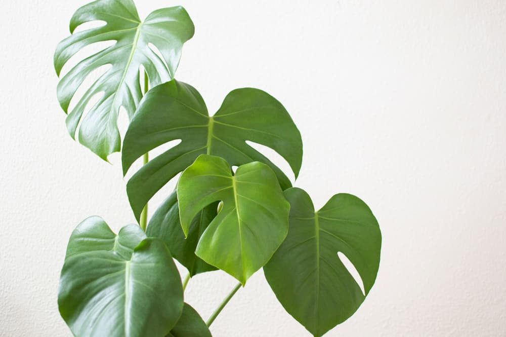 deep green leaves of swiss cheese plant on a light background