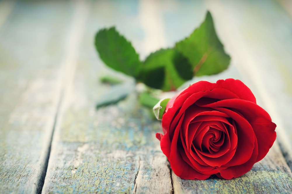 a red rose sat on a wooden bench