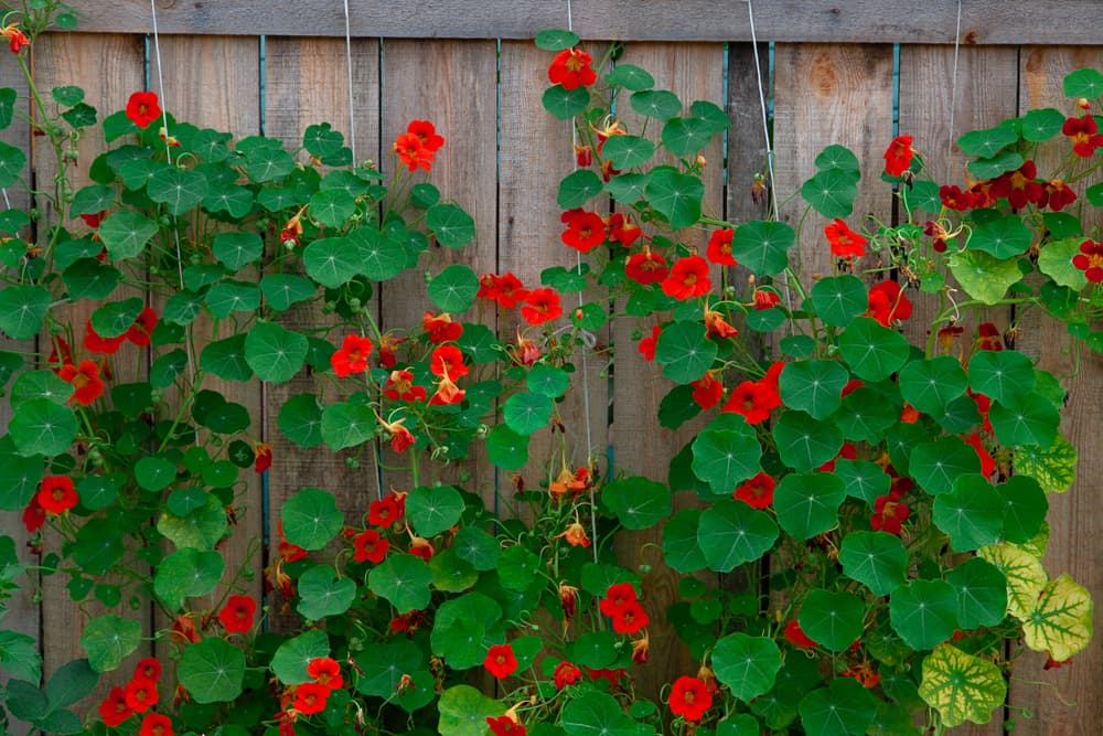 red flowers of Tropaeolum majus growing against a timber fence
