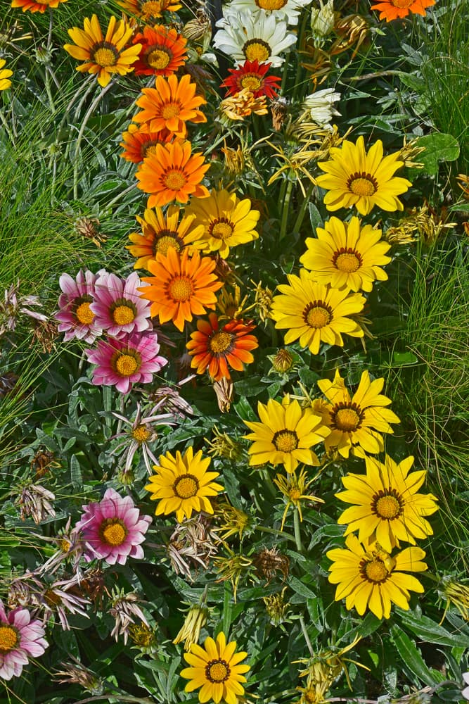 flower border with flowering Gazania 'Frosty Mixed' in various colours