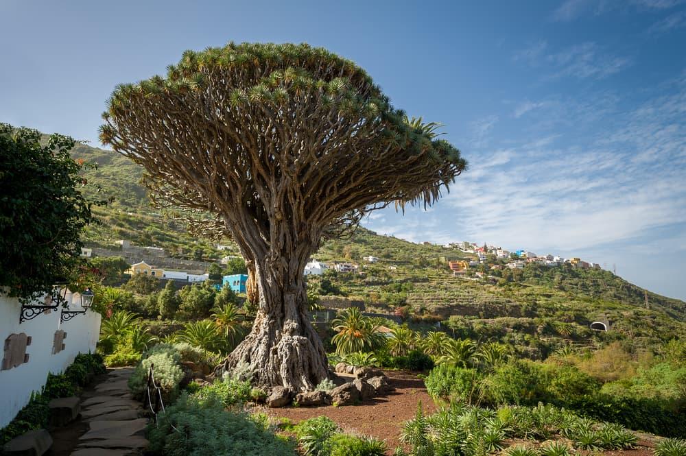 El Drago Milenario tree in Tenerife