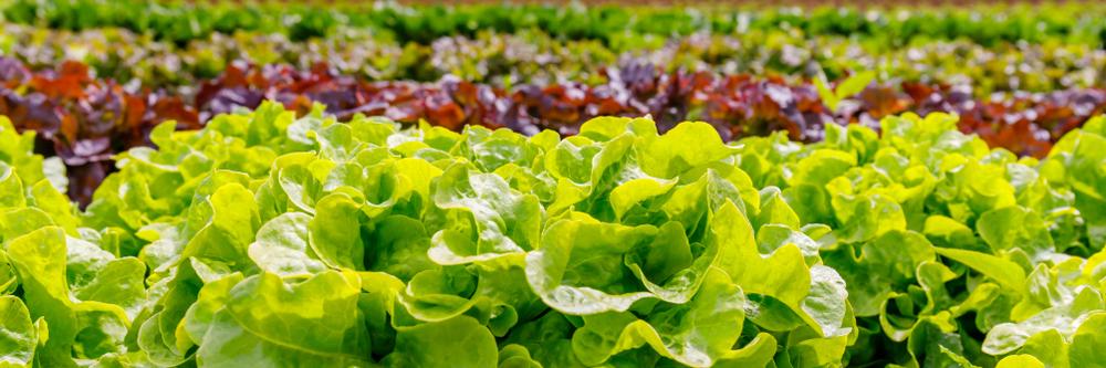 crisp lettuce plants in garden beds