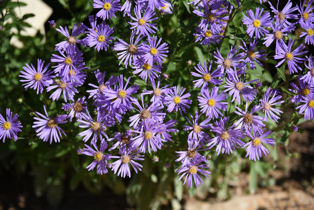 purple Aster amellus flowers blooming in a garden
