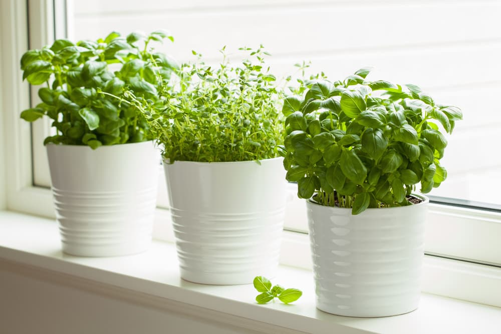basil and thyme growing on a windowsill in white ceramic pots